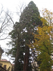 The oldest tree in Iruña, a giant sequoia